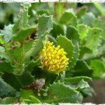 Flores de bailahuén para infusión